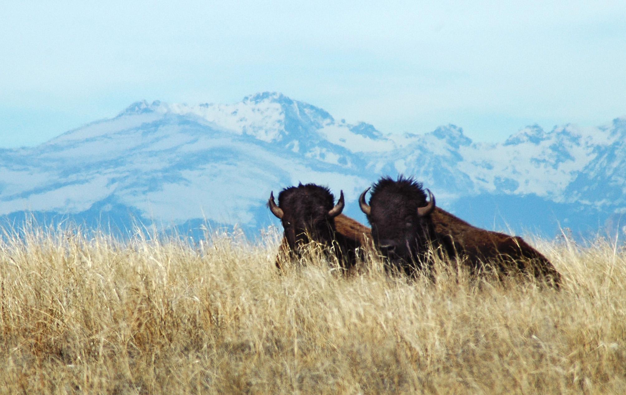 Two bulls with longs peak photo